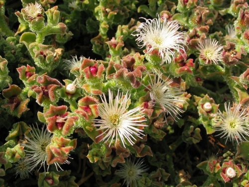 Flora de Costa - Tenerife
