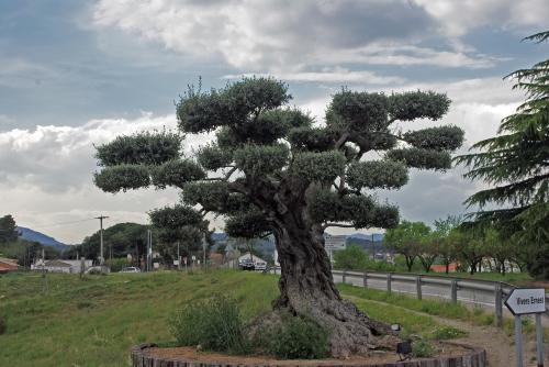 imagen un olivo de jard n